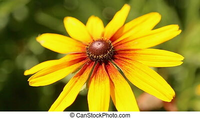 Yellow flower with long petals Rudbeckia.
