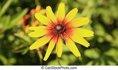 Yellow flower with long petals Rudbeckia. - Yellow flower...