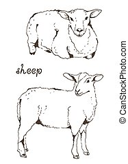 Two sheep with thick fur vector illustration on white...