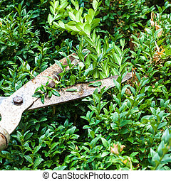 cutting boxwood bushes by pruning shears in summer day