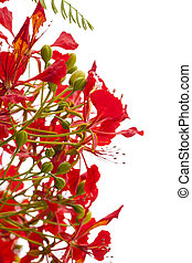 Flowering Delonix regia, flame tree, branches isolated on...