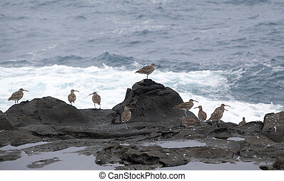 flock of slender-billed curlews waiting for favorable...