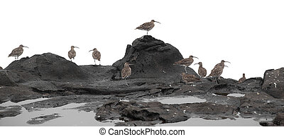 flock of slender-billed curlews on rocks isolated on white