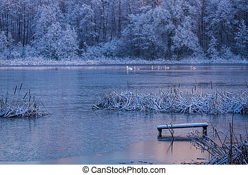 Swans passing through the lake in winter
