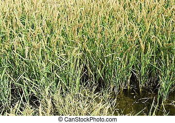 Field of rice in the rice paddies. Rice cultivation in...