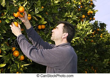 orange tree field farmer harvest picking fruits - orange...