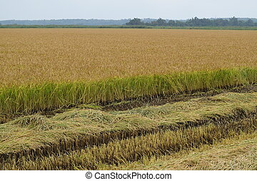 Field rice harvest began. Field of rice in the rice paddies....