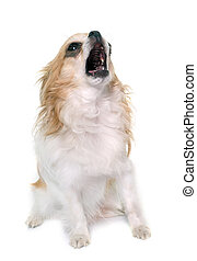 howling chihuahua in studio - howling chihuahua in front of...