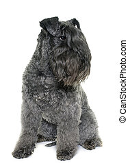 kerry blue terrier in front of white background