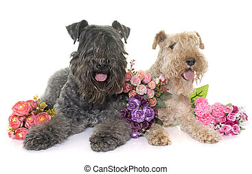 kerry blue terrier and lakeland terrier in front of white...