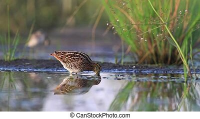 snipe looking for food, bird hunting,Wood sandpiper,hunt