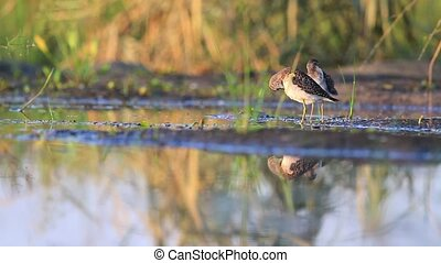 Two sandpipers cleaning feathers,Wood sandpiper