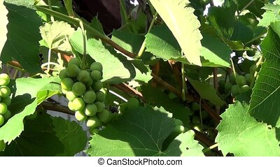 Unripe grapes on a branch - Dark green grapes swinging on a...