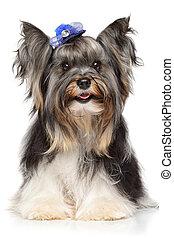 Portrait of a Biewer Yorkshire terrier - Biewer Yorkshire...