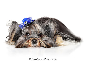 Yorkshire terrier lying down on white background