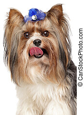 Biewer Yorkshire terrier. Close-up portrait on white...