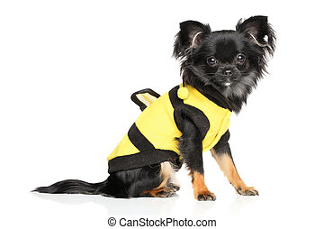 Fashionable Long-Haired Chihuahua - Long-Haired Chihuahua in...