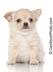 Chiwawa puppy in front of white background