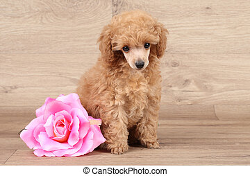 Dwarf poodle puppy with rose flower - Dwarf poodle puppy...