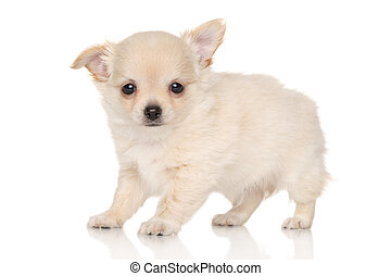 Long haired Chihuahua puppy on white background