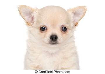 Long haired Chihuahua puppy - Close-up portrait of Long...