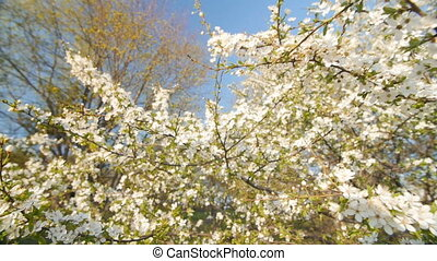 Caucasian blossom plum, slow motion camera.