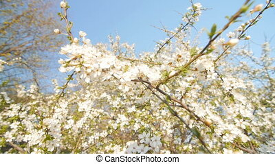Tranquil scene blossom plum tree by spring. - The camera...