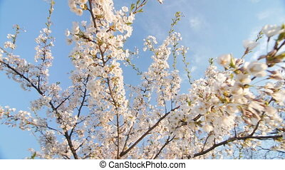 Low angle view of a blooming white cherry tree canopy