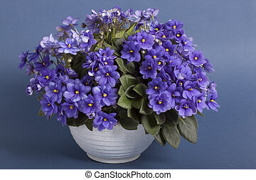 "Violet ""Honey Blue Angel"" in a white pot on a gray..."