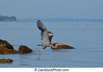 Great Blue Heron Flying Over Casco Bay in Maine - Gorgeous...
