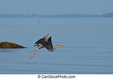 Beautiful Great Blue Heron in Flight Over Casco Bay - Breath...