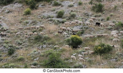 mountain sheep flock - flock of sheep moving on a mountain