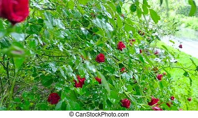 Large shrub with flowers of red roses. Camera movement makes...