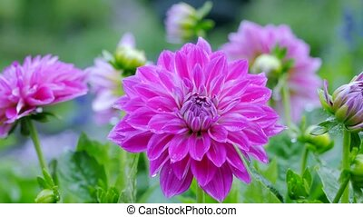 Chrysanthemum flowers in the garden. Camera movement with a...