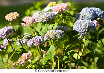 Hortensia - Close up of colorful hortensia flowers in...