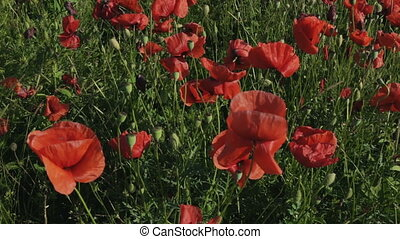 Blooming field of red poppies Beautiful and rich nature of...