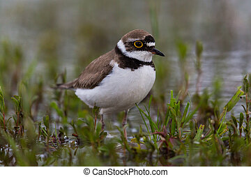 little ringed plover bird - natural little ringed plover...