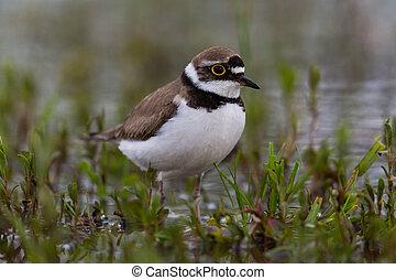 little ringed plover bird - natural little ringed plover...