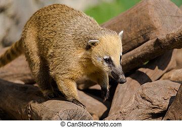 Portrait of ring-tailed coati (Nasua nasua)
