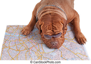 Wondering where to go - Dog de bordeaux is planning its...