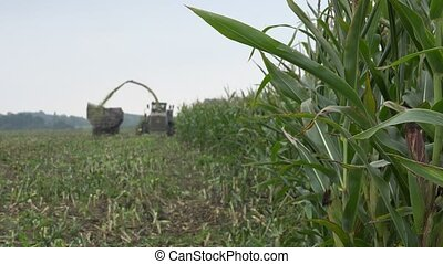 Ripe corn cob plants and blurred combine harvester harvest...