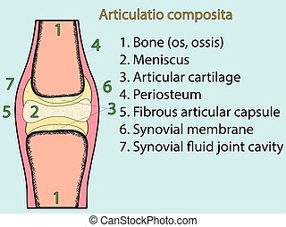 Complex joint vector. Anatomical atlas - Complex joint...