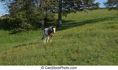 White-Brown Horse Grazing in Field - White-brown horse...