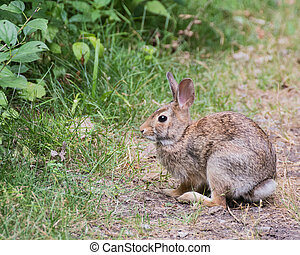 Cottontail Rabbit On A Path - Cottontail Rabbit sitting on a...
