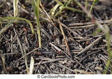 Zwykły, mrówki, Na, na, mrowisko