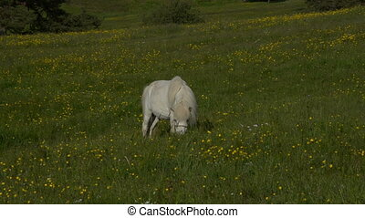 White Horse Grazing in a Field - White horse grazing in a...