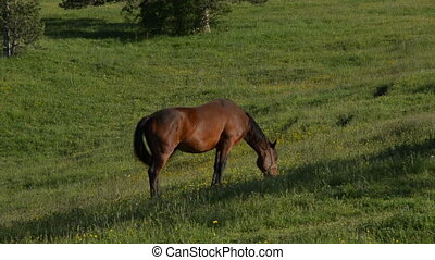 Handheld Shot of Brown Horse - Handheld camera shot of a...