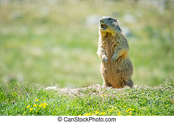 Marmot whistling to give alarm - Marmot in the grass...