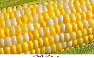 Bi-Color Corn on the Cob - Close-up of Bi-Color Sweet Corn...