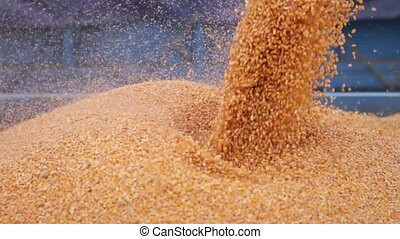 Combine harvester pouring corn maize seed into the tractor...